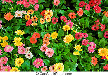 Flower bed - Beautiful multi-colored daisy flowers arranged...