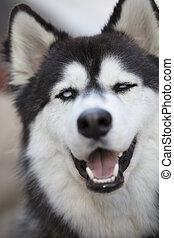 Siberian Husky Close Up of Face