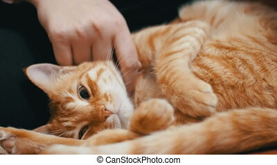 Woman Stroking a Red Cat Lying on the Couch. Close Up. The...