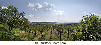 Vineyards at Lake Balaton - Vineyards in Spring time in...