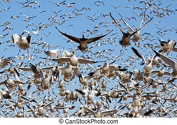 Migrating Snow Geese Take Flight - Thousands of migrating...