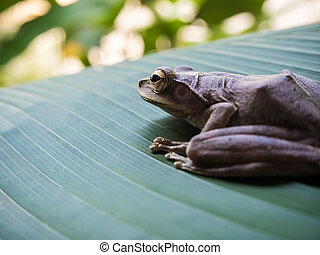 Tree Frog on the big green leaf