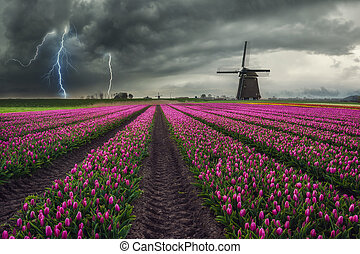Traditional Dutch Field of Tulips
