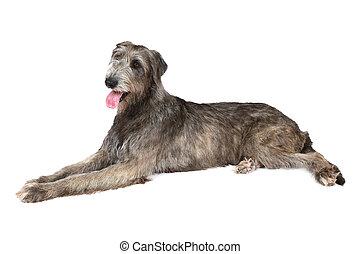 Thoroughbred Irish wolfhound - Irish wolfhound dog (two...