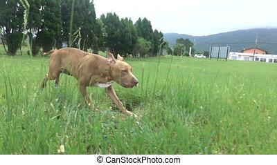 Dog Running Across the Grass