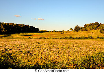 Yellow wheat field cereal and sunset - Photo picture Yellow...