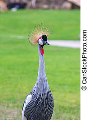 Crowned Crane birds with blue eye and red wattle in park.