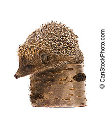 Hedgehog - Nice hedgehog animal on stump isolated on white...