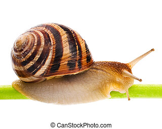 Snail - Big garden snail isolated on a white background