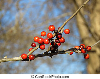 Possum haw winter berries - Red winter berries on a twig,...