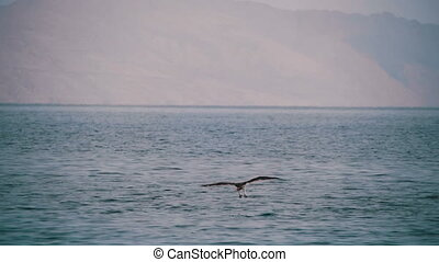 Sea Bird Osprey flying over the Red Sea. - Sea Bird Osprey...