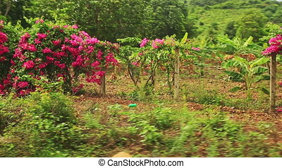 Forest Bushes in Pink Blossom along Sideroad - panorama of...