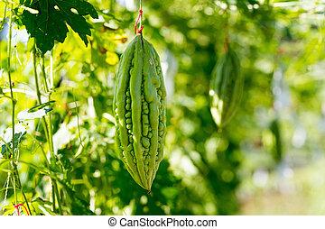 Wild Bitter Gourd, Bitter Cucumber,Bitter Gourd in garden. -...