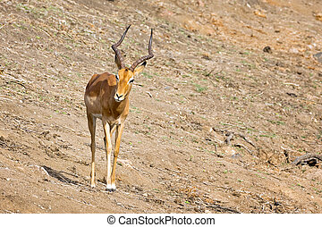 Male impala in Kruger National Park, South Africa.