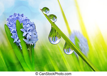 Spring flower hyacinth and fresh green grass with dew drops