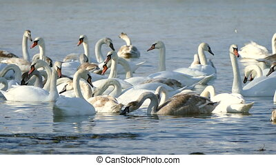 Flock of Swans.
