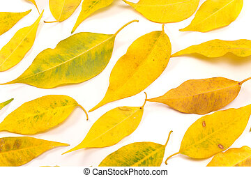 Yellow autumn leaves on white as background
