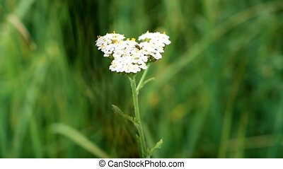 Yarrow with a beetle on it. Achillea millefolium. - Yarrow...