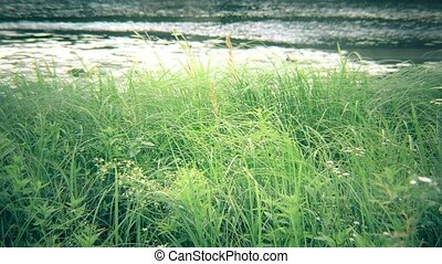 Green sedge, reed, grass swaying near river or lake - Lush...