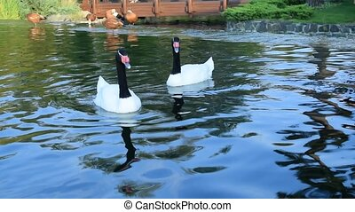 Gracious couple of two black necked swans in pond - Gracious...