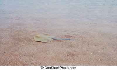 Stingray in the Red Sea. Ramp Lima. Ramp on the shoreline...