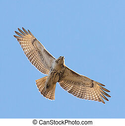 Juvenile Red Tailed Hawk - Juvenile Red-tailed Hawk (Buteo...