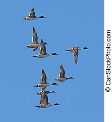 Northern Pintails in Flight - Group of Northern Pintail...