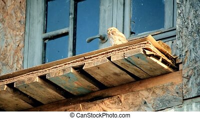 Owl looks sullenly and distrustfully from old abandoned...