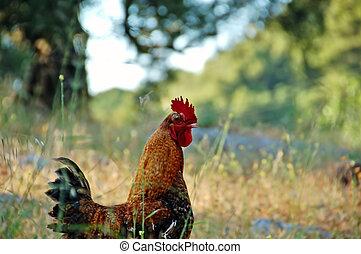 Gama, pollo, libre
