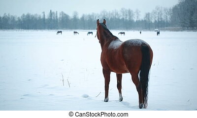 Dark brown horse on winter field. The horse walks on a snowy...