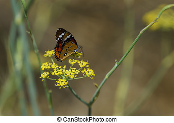 Red Admiral butterfly collecting nectar from wild yellow...