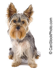 Yorkie puppy isolated on white with it's head tilted
