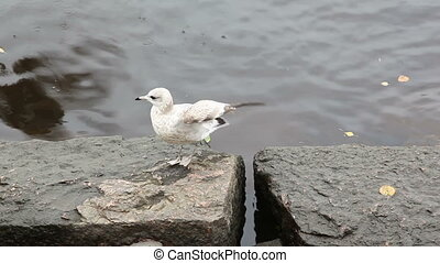 Seagull chased others from eating bread crumbs. Seacoast in Vyborg.