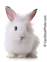 portrait of a little rabbit - portrait picture of a white...
