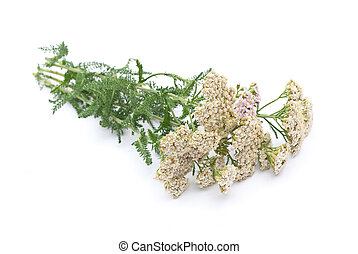 Herbal medicine: Milfoil on white