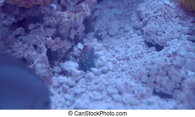 Jawfish Feeding, Close - Close on a Jawfish as it jumps out...