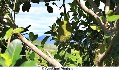 Jackfruit tree with fruit - Closeup view of jackfruit on...