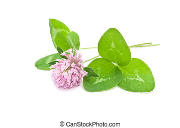 Red clover - Herbal medicine:Red clover