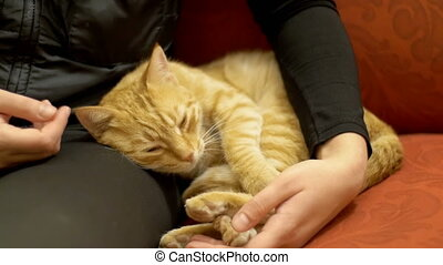 Woman Stroking a Red Cat Lying on the Couch. The cat lies on...
