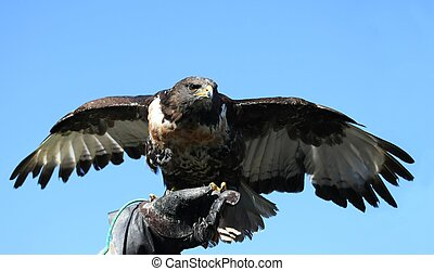 Jackal Buzzard Bird of Prey