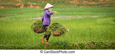 Vietnamese Woman at Work in Ricefield - A vietnamese woman...