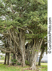 Malayan banyan tree - Longevity large malayan banyan tree in...
