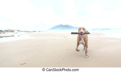 Dog Carrying a Stick on the Beach - Close-up of Pitbull on...