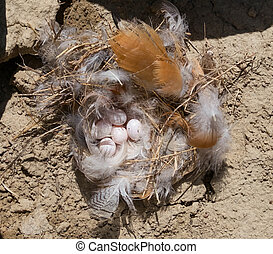 swallow Sand Martin and its nest with eggs - Riparia Riparia...