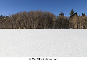 Field of clean white snow with bare aspen treeline. Near...