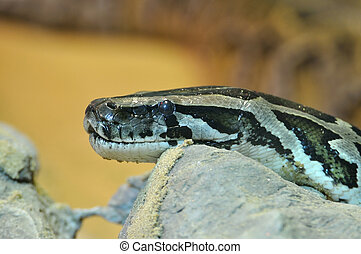 Head of Green Burmese Python, eye focus