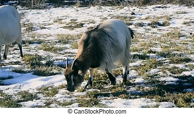 Many goats eating grass in winter