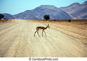 The impala cross the road - Dirt road in the African steppe....