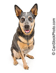 Australian Cattle Dog With Missing Leg Isolated on White -...