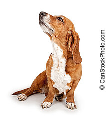 Basset Hound Dog Ignoring Commands - Basset Hound dog...